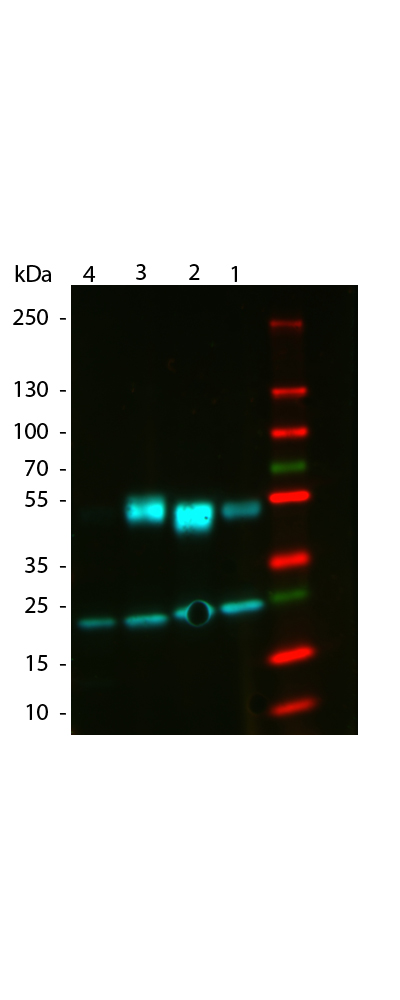WB - Anti-Mouse IgG (gamma 1, 2a, 2b and 3 chain)  (ATTO 488 Conjugated) Secondary Antibody ASR3259
