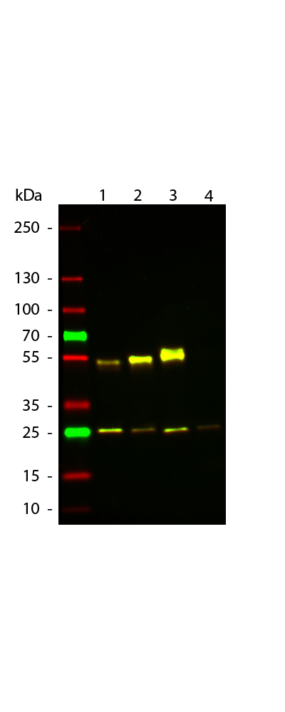 WB - Anti-Mouse IgG (gamma 1, 2a, 2b and 3 chain)  (ATTO 594 Conjugated) Secondary Antibody ASR3262
