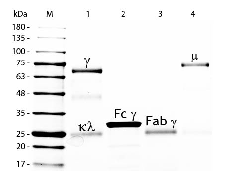 - Chicken IgG F(ab')2 Fluorescein  ASR3280
