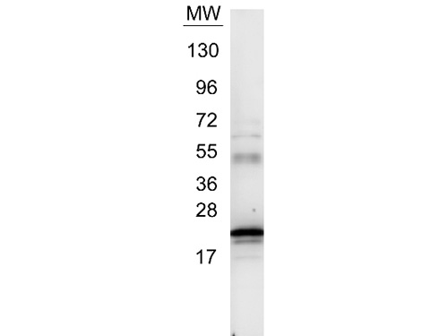 WB - Anti-Human IL-6  Secondary Antibody ASR3288