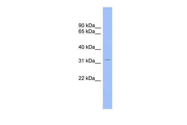 WB - CNOT7 antibody - middle region AI10068