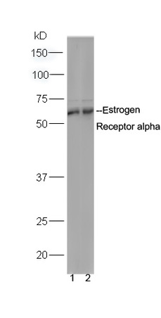 WB - Rabbit Anti-Estrogen Receptor alpha Polyclonal Antibody AP52087
