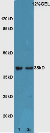 WB - Rabbit Anti-ATF4/CREB-2 Polyclonal Antibody AP52146