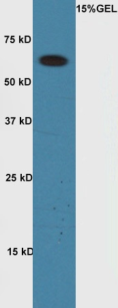 WB - Rabbit Anti-Cyclin A1 Polyclonal Antibody AP52234