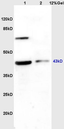 WB - Rabbit Anti-WNT2B Polyclonal Antibody AP52308