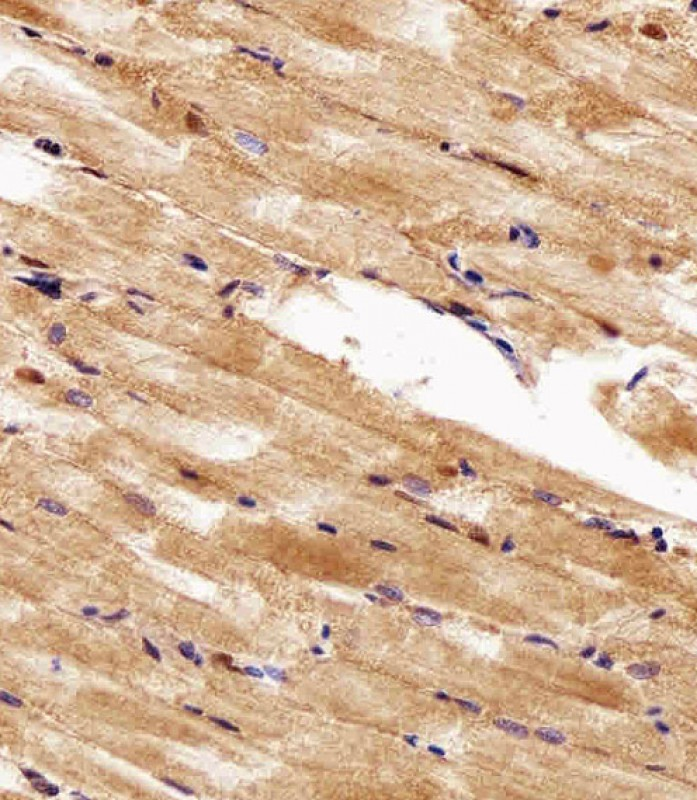 IHC-P - hsp90a.1 Antibody (Center) Azb18696c