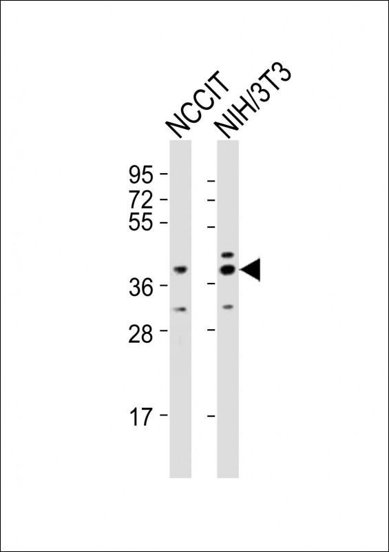 WB - (Mouse) Rnf2 Antibody (Center) AP21227c