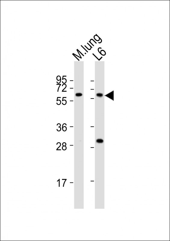 WB - Mouse Yes1 Antibody (Center) AP21248c