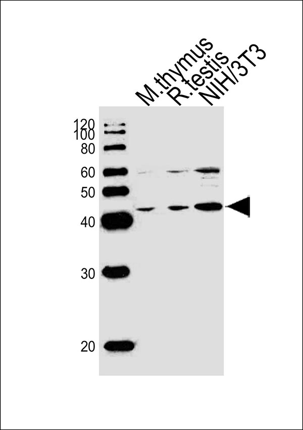 WB - Mouse Tfap2a Antibody (Center) AW5049-U400
