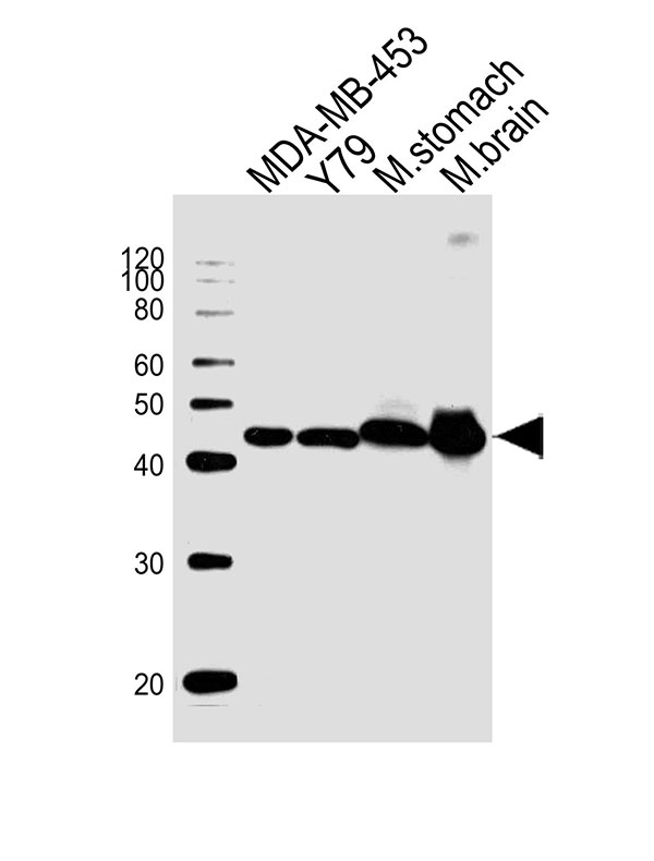 WB - Creatine Kinase BB Antibody  (Center) AW5061-U400