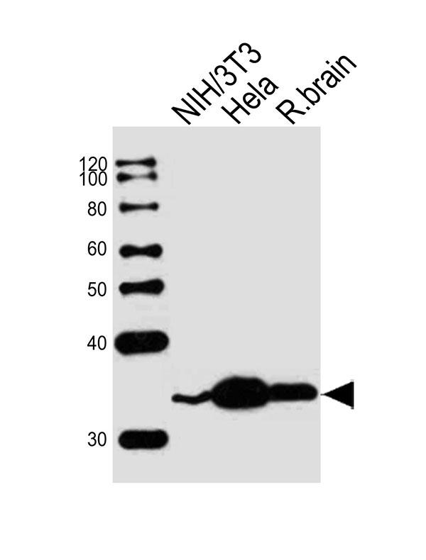 Rps6 Antibody N Term