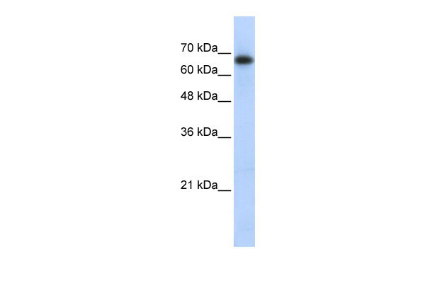 WB - ZSCAN12 antibody - middle region AI10550