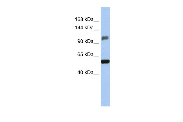 WB - ZSCAN20 antibody - middle region AI10662