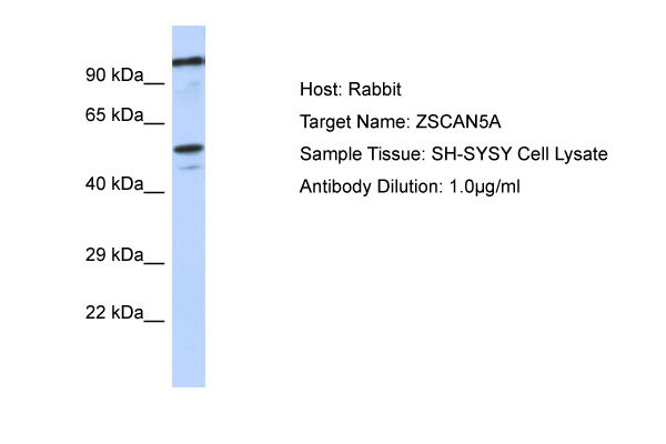 WB - ZSCAN5A Antibody - middle region AI10925