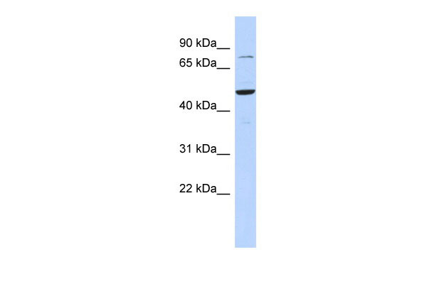 WB - ZSCAN1 antibody - middle region AI11664