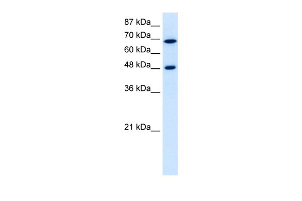 WB - RRP9 antibody - middle region AI11766