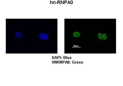 IF - HNRPA0 antibody - middle region AI11785