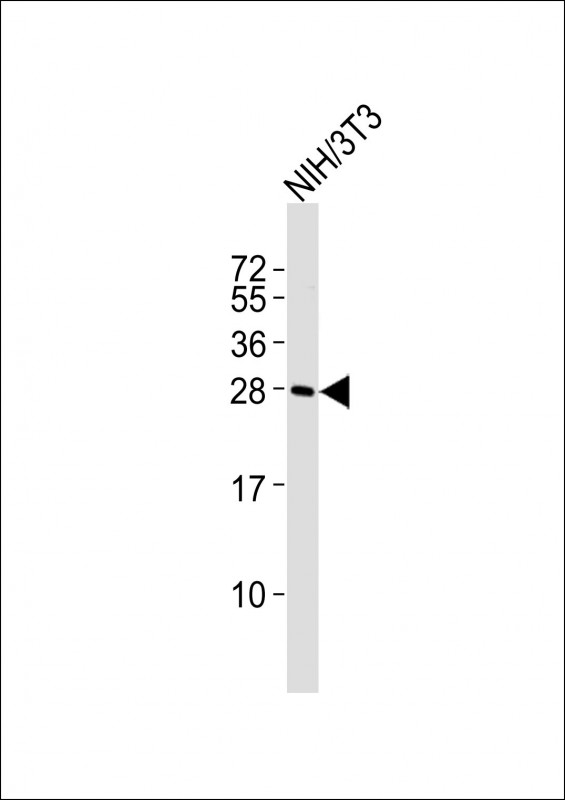 WB - (Mouse) Rybp Antibody (Center) AP21378c