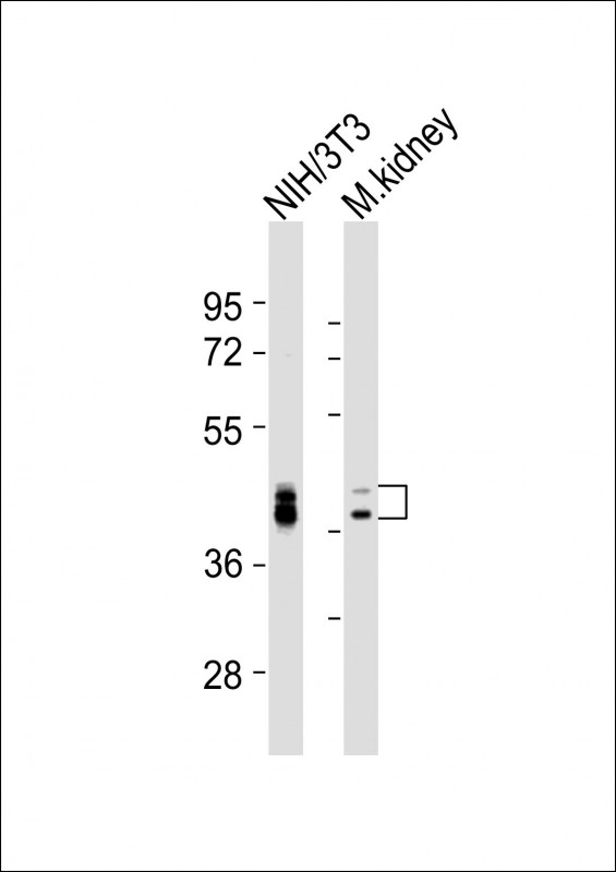 WB - (Mouse) Bmi1 Antibody (Center) AP21471c