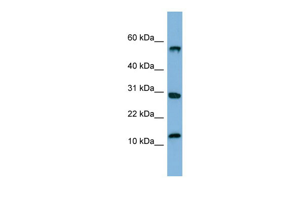 WB - SRP19 antibody - middle region AI12094