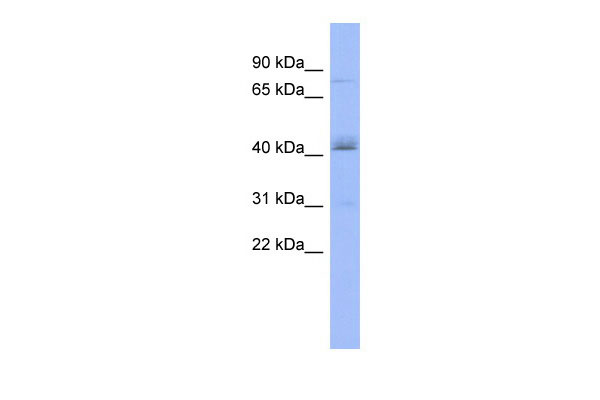 WB - PAPOLB antibody - middle region AI12096
