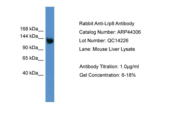 WB - Lrp8 antibody - middle region AI12404