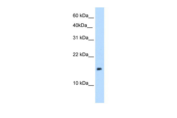 WB - PAGE1 antibody - middle region AI12654