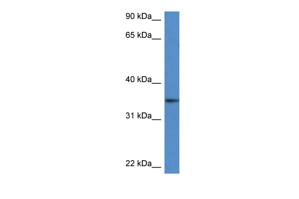 WB - Dhrs3 antibody - middle region AI12689