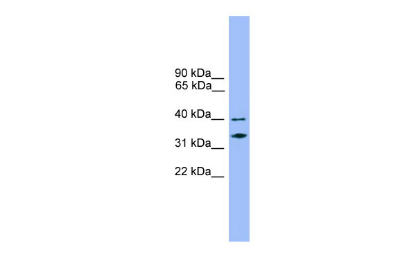 WB - NDFIP2 antibody - middle region AI13026
