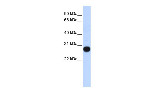 WB - TCEAL4 antibody - middle region AI13161