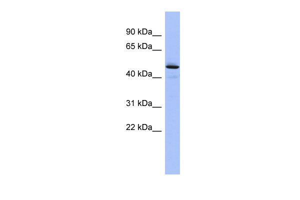 WB - PCOLCE antibody - middle region AI13938