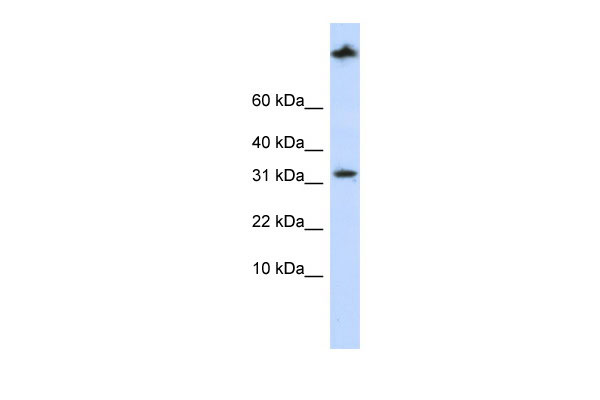 WB - SCP2 antibody - middle region AI13958