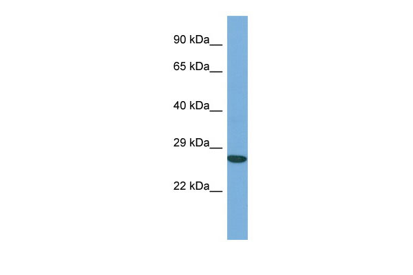 WB - ACTL6A Antibody - middle region AI14015