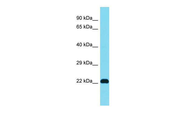 WB - Dhrs4 Antibody - middle region AI14804