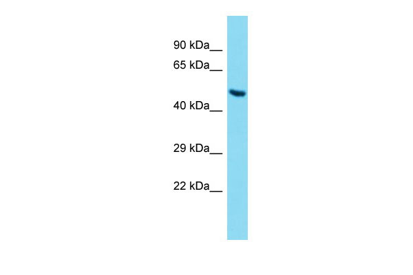 WB - Angpt2 Antibody - middle region AI14929