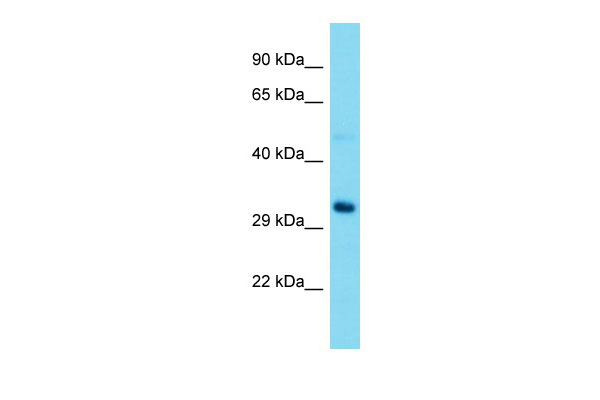 WB - Rrp15 Antibody - middle region AI15636