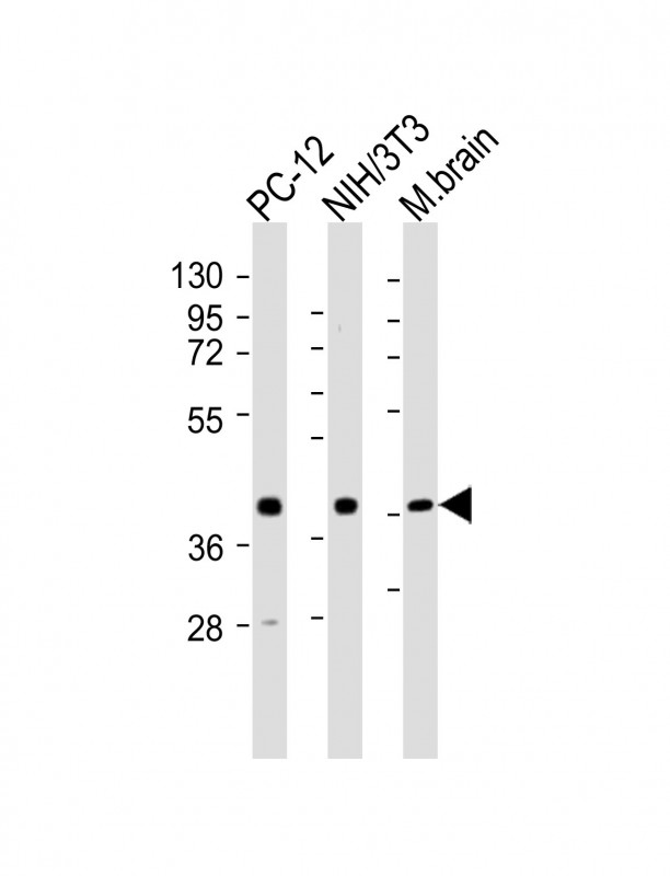 WB - (Mouse) Rnf2 Antibody (Center) AP21500c