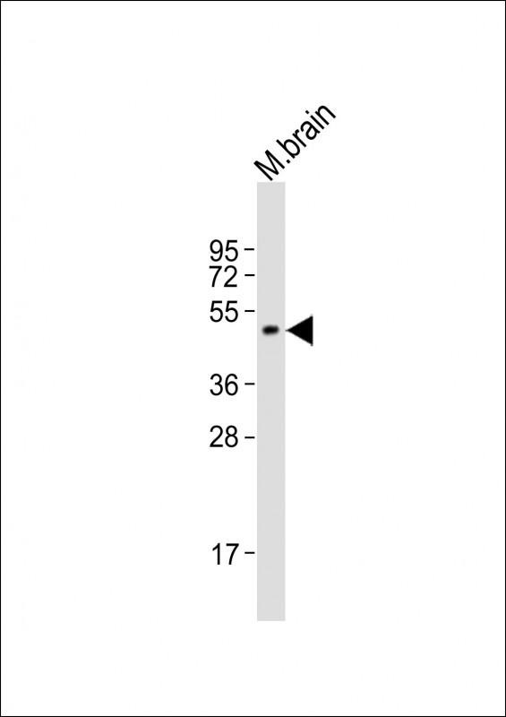 WB - IP6K2 Antibody (Center) AP21553c