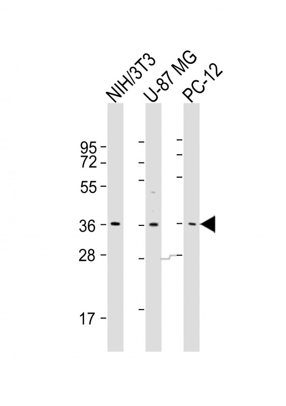 WB - COPS5 Antibody (Center) AP21563c