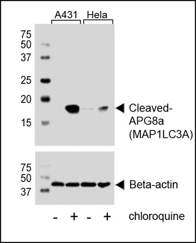 WB - Cleaved LC3A Antibody AW5518-U200