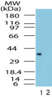 WB - FPR1 / FPR Antibody (aa176-190) ALS12071