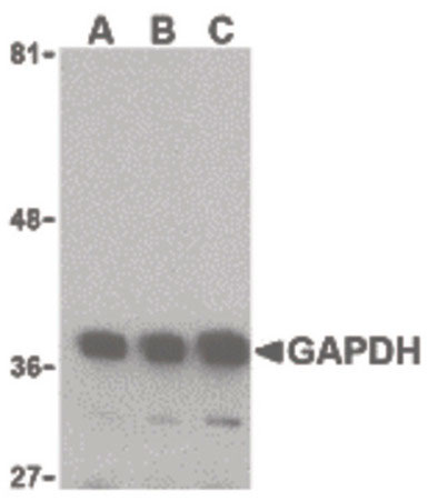WB - GAPDH Antibody (aa51-100) ALS12300