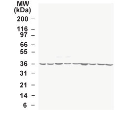 WB - GAPDH Antibody (aa73-87) ALS12308