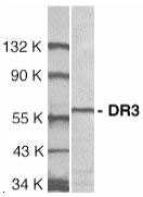 WB - TNFRSF25 / DR3 Antibody (Extracellular Domain) ALS12404