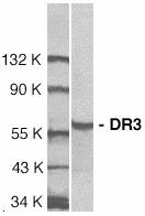 WB - TNFRSF25 / DR3 Antibody (aa25-40) ALS12405