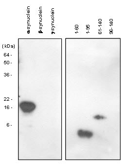 WB - SNCA / Alpha-Synuclein Antibody (aa1-140, clone 5C2) ALS12539