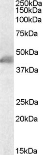 WB - ACTA2 / Smooth Muscle Actin Antibody (N-Terminus) ALS13077