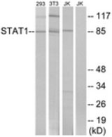 WB - STAT1 Antibody (aa694-743) ALS14193