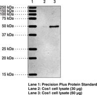 WB - OXER1 Antibody ALS14693