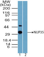 WB - NUP35 / NUP53 Antibody (aa50-100) ALS15268